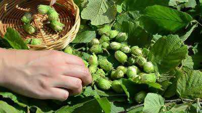 К чему снятся грецкие орехи, спелые, колотые или