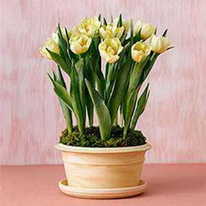 Такие луковицы специально помечены как луковицы цветов для зимней выгонки и стоят немного дороже обычных