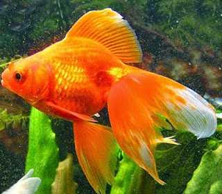 К чему снятся аквариумные рыбки, увидеть