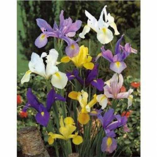 Правда, условия выращивания накладывают большой отпечаток на внешний вид куста, интенсивность цветения и размер цветов