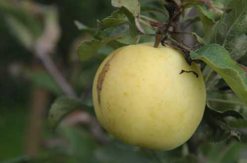 Гусеницы на яблоне: описание видов гусениц, фото,