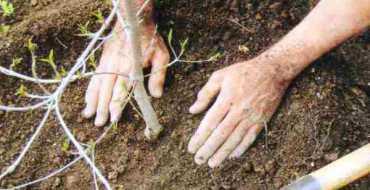 Гарантией хорошей приживаемости кустов голубики на участке выступает качественный посадочный материал