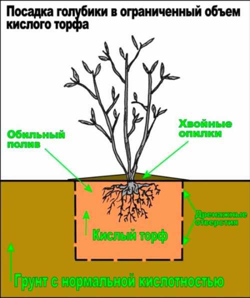 Посадка голубики садовой: технология посева,