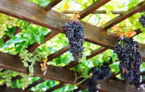 На больших гроздьях находятся овальные плотные ягоды темносинего цвета