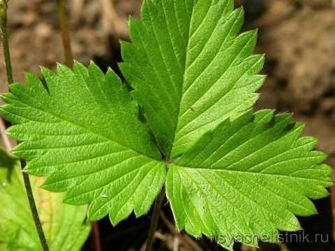 В народной медицине полезные свойства листьев земляники очевидны