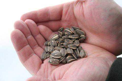 Грызть семечки с удовольствием, извлекать изпод колючей скорлупы вкусные зернышки это безусловно хороший сон, предвещающий скорое и благополучное разрешение волнующих вопросов, разрешение конфликта